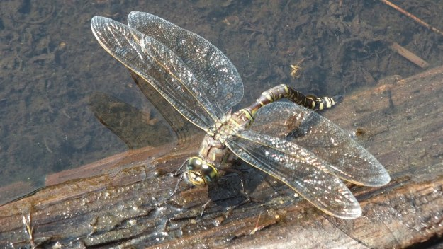 lance-tipped darner dragonfly along mizzy lake trail - algonquin park - ontario pic 3