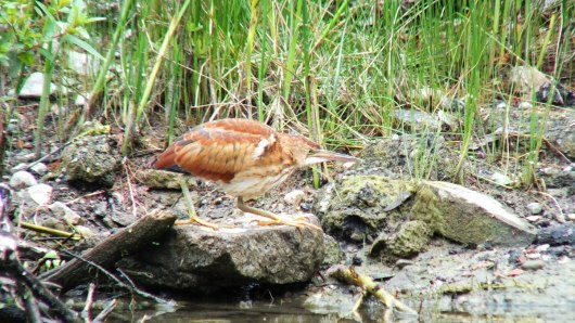 least bittern at colonel sam smith park - etobicoke - toronto - ontario 16
