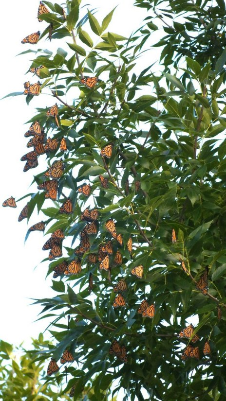 monarch butterflies at samuel smith park - tree 2 - etobicoke