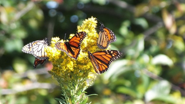 monarch butterflies on goldenrod at colonel sam smith park - etobicoke - ontario 3