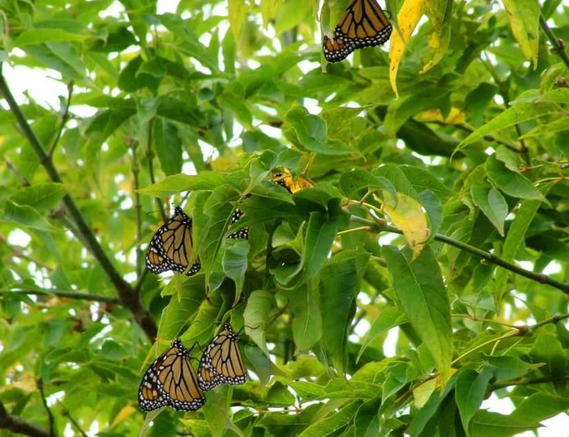 monarch butterflies - tree 1 - at colonel sam smith park - etobicoke - ontario 1