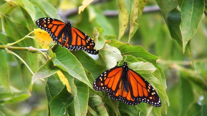 monarch butterflies - tree 1 - at colonel sam smith park - etobicoke - ontario 9