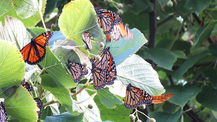 monarch butterflies - tree 3 - at colonel sam smith park - etobicoke - ontario 14