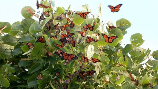 monarch butterflies - tree 3 - at colonel sam smith park - etobicoke - ontario 6