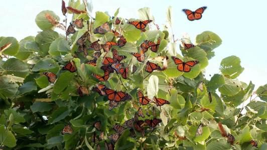 monarch butterflies flutter on a tree