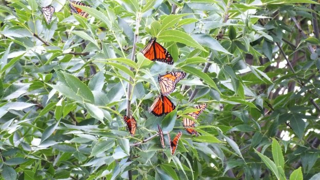 monarch butterflies - tree 4 - at colonel sam smith park - etobicoke - ontario 23