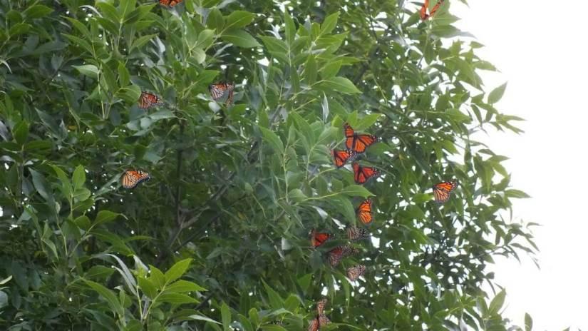 monarch butterflies - tree 4 - at colonel sam smith park - etobicoke - ontario 24