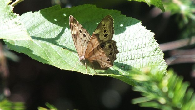 northern pearly-eye butterfly - algonquin park - 2014 pic 8