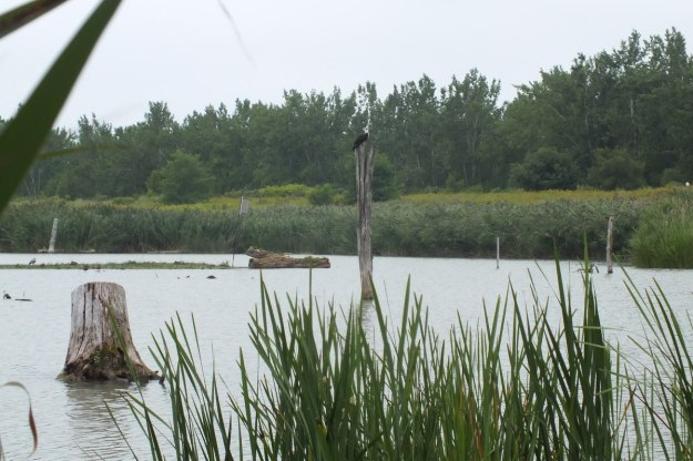 osprey at tommy thompson park - toronto - ontario 2