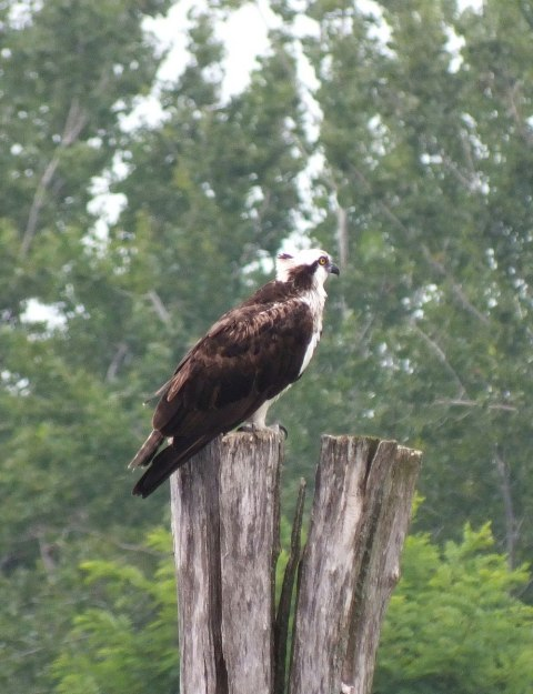 osprey at tommy thompson park - toronto - ontario 3