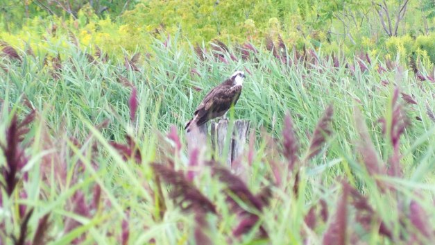osprey at tommy thompson park - toronto - ontario 6