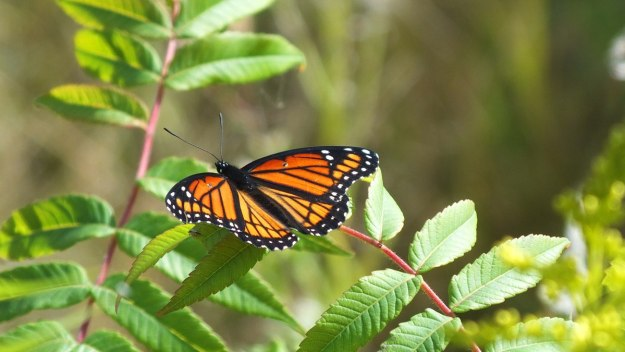 viceroy butterfly at tommy thompson park - toronto - ontario 1
