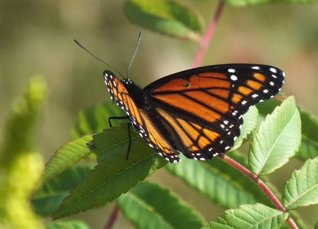 viceroy butterfly at tommy thompson park - toronto - ontario 3