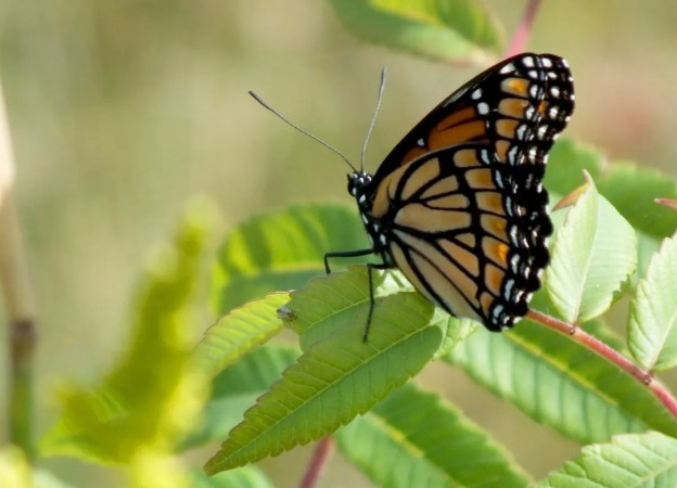 viceroy butterfly at tommy thompson park - toronto - ontario 4