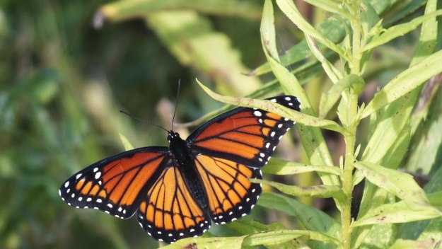 viceroy butterfly at tommy thompson park - toronto - ontario 5