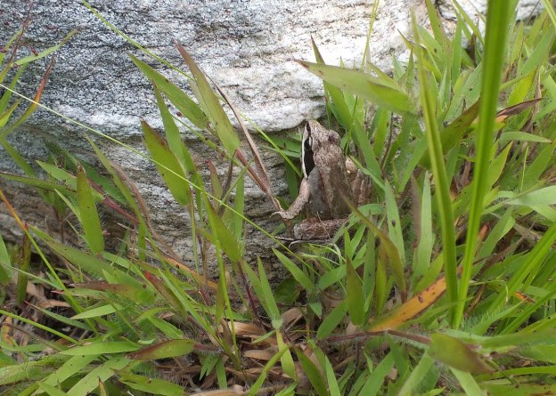 wood frog - mizzy lake trail - algonquin park - ontario 4