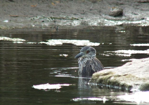 yellow crowned night heron - juvenile - col sam smith park - etobicoke pic 10
