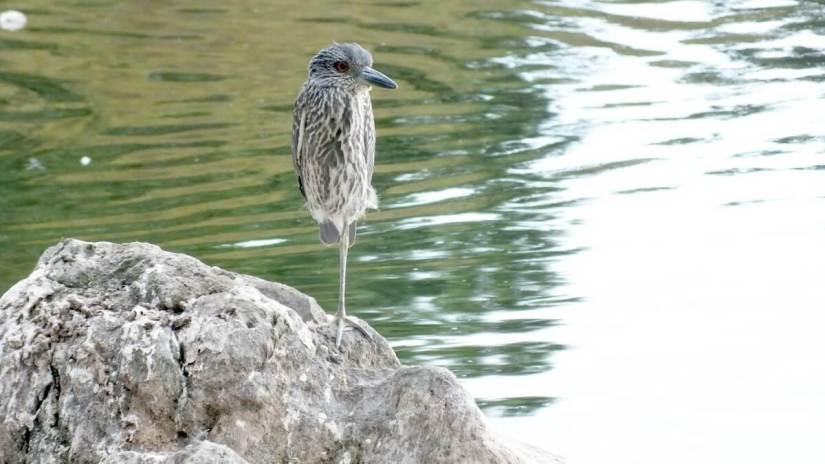 yellow crowned night heron - juvenile - col sam smith park - etobicoke pic 6