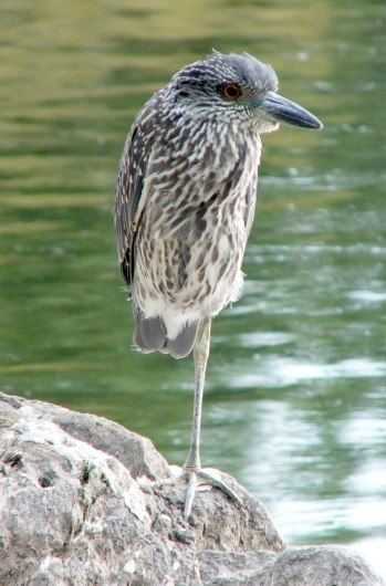 yellow crowned night heron - juvenile - col sam smith park - etobicoke pic 7
