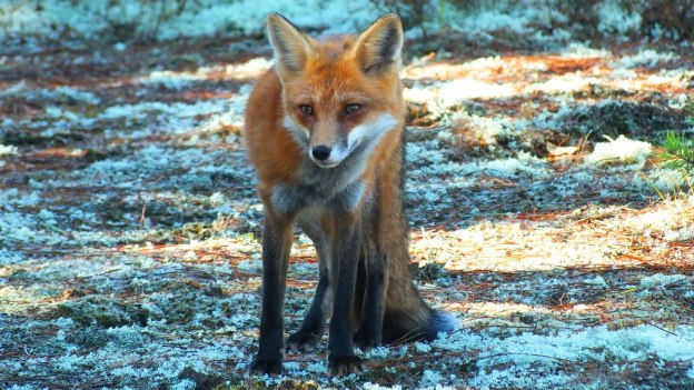 red fox in algonquin park - fall of 2014 - pic 1