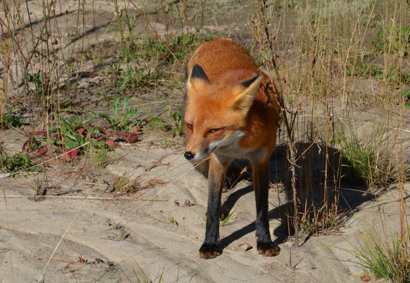 red fox in algonquin park - fall of 2014 - pic 11