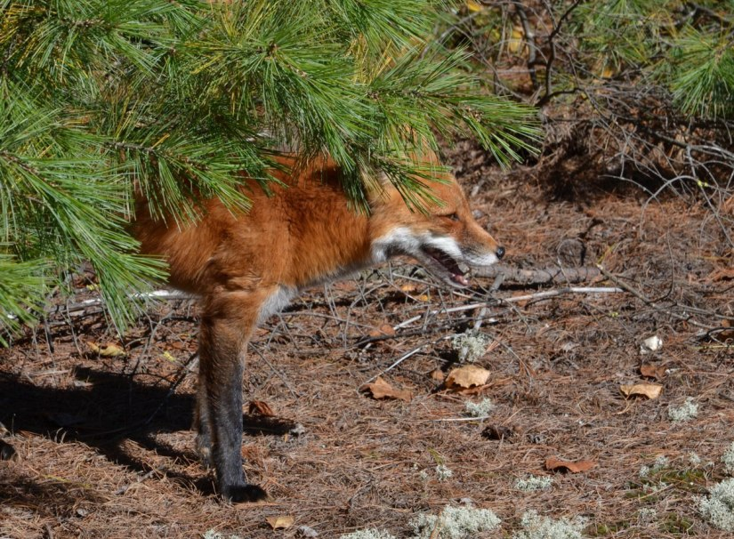 red fox in algonquin park - fall of 2014 - pic 16