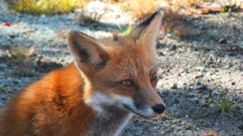 red fox in algonquin park - fall of 2014 - pic 17