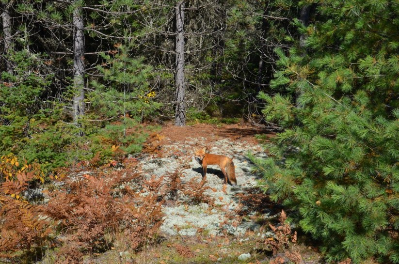 red fox in algonquin park - fall of 2014 - pic 6