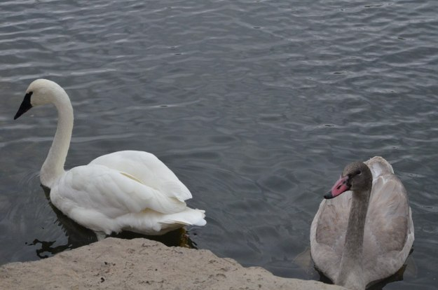 trumpeter swan H11 with cygnet at milliken park_toronto