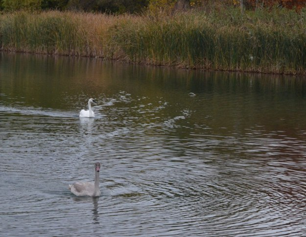 trumpeter swan H11 with cygnet swimming on pond at milliken park_toronto