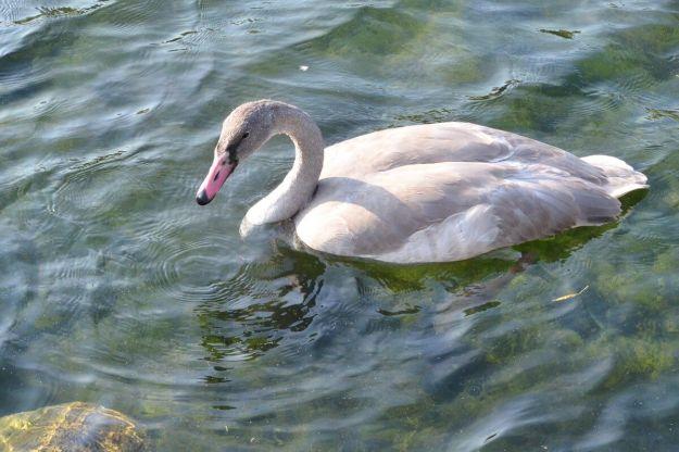 trumpeter swan juvenile at milliken park - toronto - 2