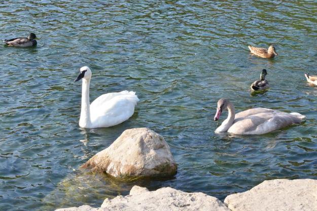trumpeter swans at milliken park - toronto