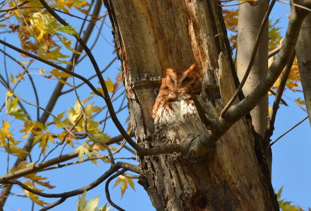 Eastern Screech Owl in Woodland Cemetery in Burlington, Ontario, Canada