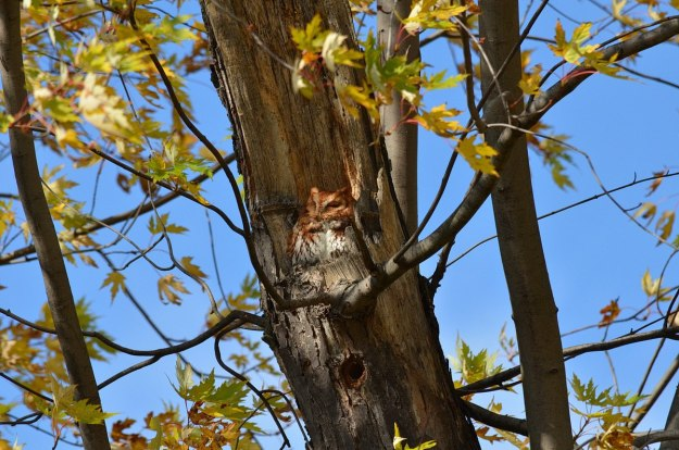 Eastern Screech Owl - Red Morph sitting in tree at Woodland Cemetery in Burlington, Ontario, Canada