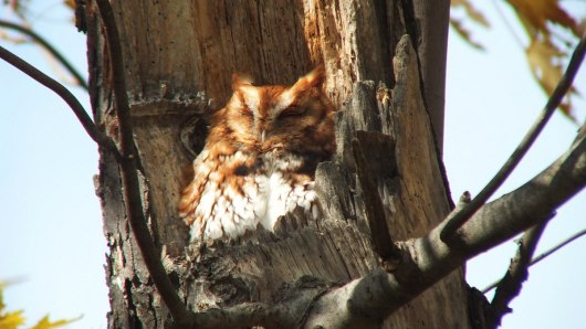 Eastern Screech Owl_red morph_burlington_ontario_7