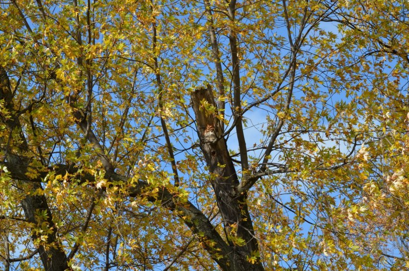 Eastern Screech Owl - Red Morph in tree at Woodland Cemetery in Burlington, Ontario, Canada
