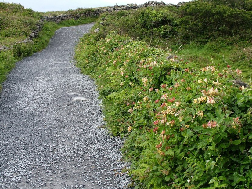 An image of Honeysuckle Woodbine growing along a hiking trail to Dun Aonghasa Fort on Inishmore Island, in Ireland. Photography by Frame To Frame - Bob and Jean.