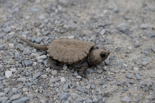photograph of a baby snapping turtle along a hiking trail in Aurora, Ontario, Canada.