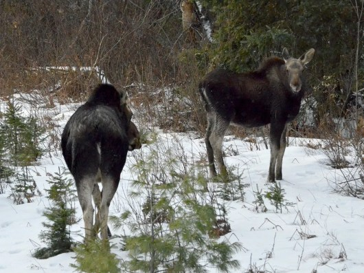 Moose cow and it's calf in the winter in Algonquin Park in Ontario, Canada
