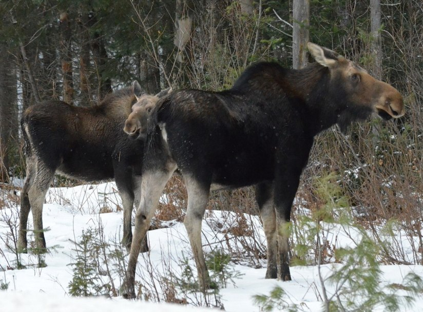 calf and cow moose in algonquin park_ontario 3