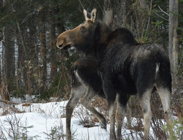 calf and cow moose in algonquin park_ontario 4