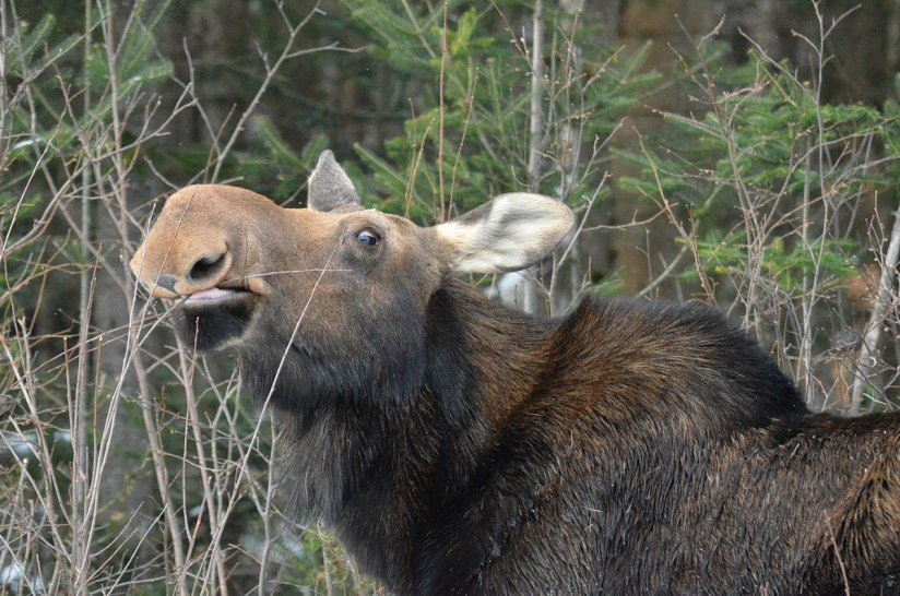 cow moose in algonquin park_ontario 5