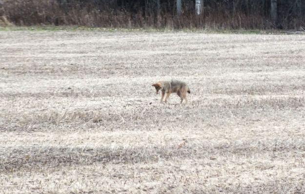 eastern coyote near saintfield, ontario pic 1