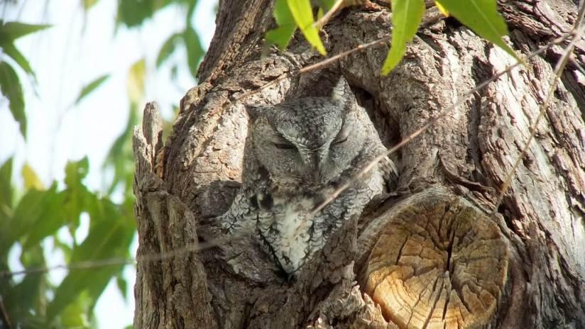 eastern screech owl gray morph_lasalle park_burlington_ontario 1