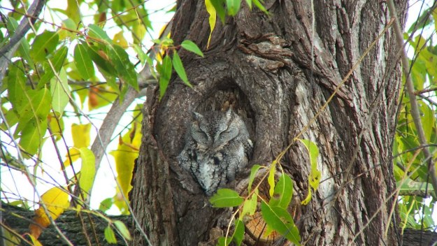 eastern screech owl gray morph_lasalle park_burlington_ontario 10