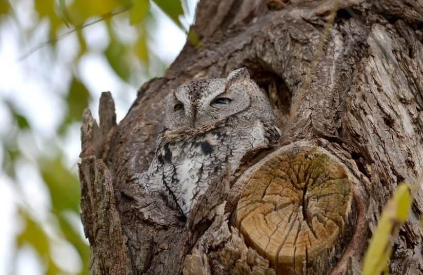 eastern screech owl gray morph_lasalle park_burlington_ontario 3