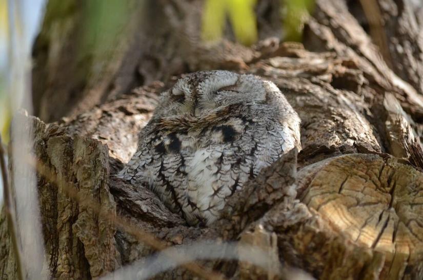 eastern screech owl gray morph_lasalle park_burlington_ontario 5