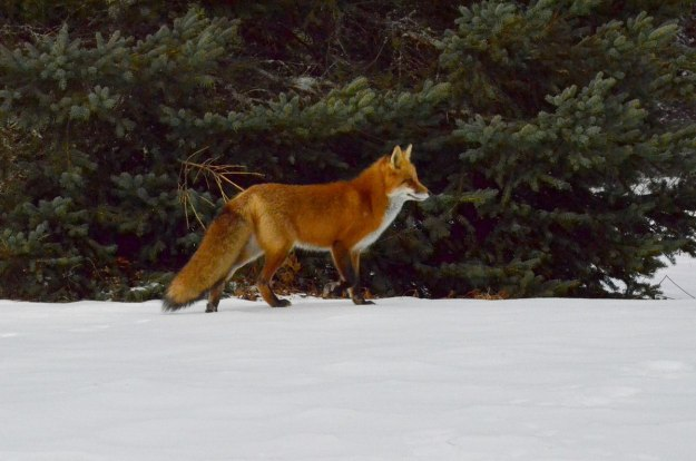 red fox in algonquin park - november 2014 pic 8