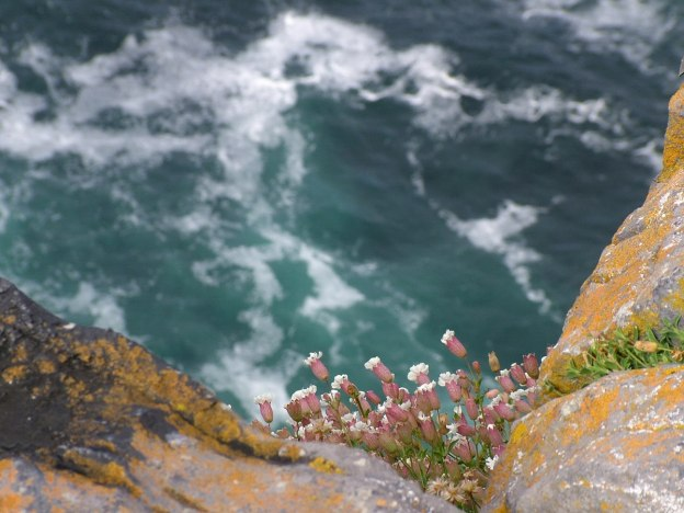 An image of Sea Campion growing on the cliffs at Dun Aonghasa Fort on Inishmore Island in Ireland. Photography by Frame To Frame - Bob and Jean.