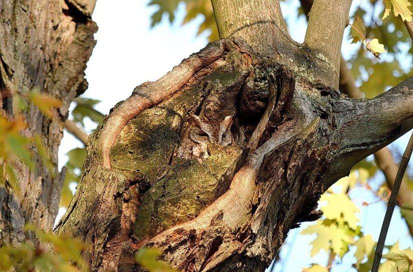 tan morph eastern screech owl_burlington_ontario_ 3